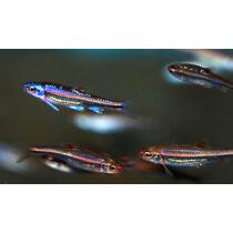 Notropis chrosomus - Szivárványos cselle