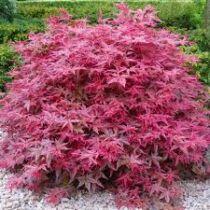 Acer palmatum 'Beni-Maiko' – Japán juhar