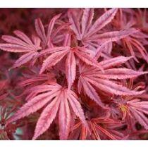 Acer palmatum Skeeters Broom - Japán juhar