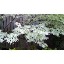 Acer palmatum Ukigumo