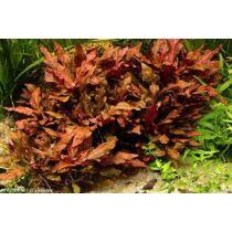 Alternanthera cardinalis akváriumi növény