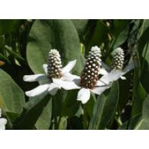Anemopsis californica kerti tavi növény