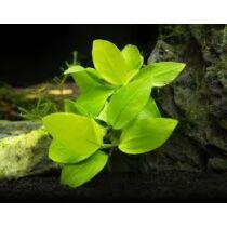 Anubias Golden Nana akváriumi növény