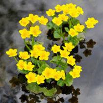 Caltha Palustris - Mocsári gólyahír kerti tavi növény