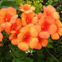 Campsis Orange Dream