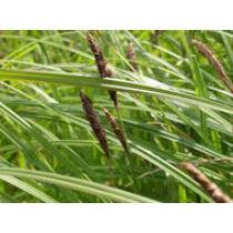CAREX NIGRA - Fekete sás kerti tavi növény