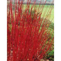 Cornus alba 'Westonbirt'