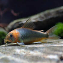 Corydoras Orange