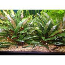 Cryptocoryne Wendtii Tropica akváriumi növény