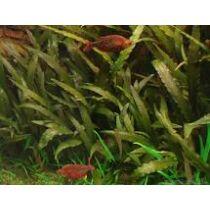 Cryptocoryne indonesii akváriumi növény