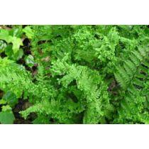 Dryopteris affinis Crispa - Pelyvás pajzsika