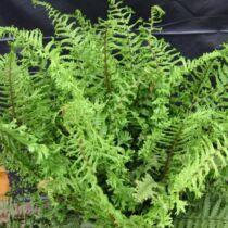 Dryopteris affinis 'Crispa Cristata' – Pelyvás pajzsika