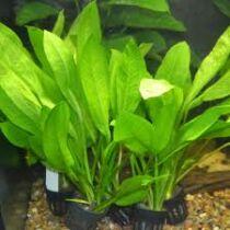 Echinodorus bleheri akváriumi növény