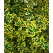 Euonymus fortunei Emerald' n Gold - Kúszó kecskerágó