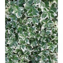 Euonymus fortunei Emerald Gaiety - Kúszó kecskerágó
