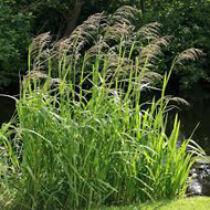 Glyceria maxima - harmatsás kerti tavi növény