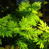 Hygrophila difformis (vízi petrezselyem) akváriumi növény