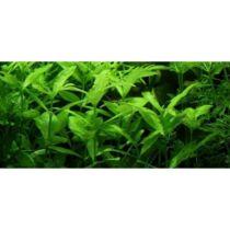 Indiai vízicsillag - Hygrophila polysperma