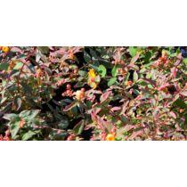 Hypericum moserianum tarka orbáncfű