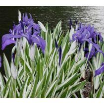 Iris laevigata variegata - Csíkos levelű kék írisz - Kerti tavi növény