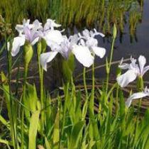 Iris Laevigata snowdrift - Japán írisz kerti tavi növény
