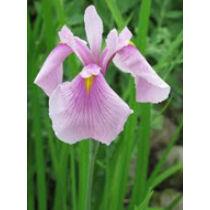 Iris laviegata rose queen - mocsári írisz kerti tavi növény