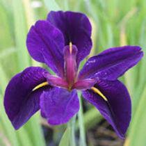 """Iris louisiana """"Black Gamecock""""- mocsári írisz kerti tavi növény"""