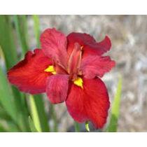 Iris louisiana Red - mocsári írisz kerti tavi növény