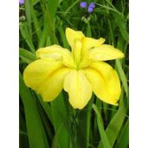 Iris louisiana yellow – Sárga írisz kerti tavi növény
