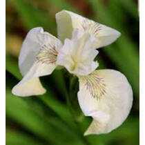 Iris pseudocorus Creme de la Creme - mocsári nőszirom kerti tavi növény