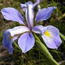 Iris setosa - mocsári írisz kerti tavi növény