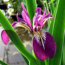 Iris versicolor Kermesina - mocsári írisz kerti tavi növény