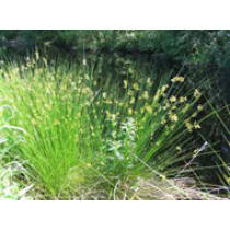 Juncus effusus Békaszittyó - kerti tavi növény