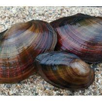 Tavi kagyló - Anodonta cygnea - kerti tavi kagyló