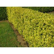 Ligustrum ovalifolium 'Aureovariegatum' Aranytarka levelű fagyal
