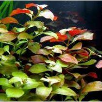 Ludwigia repens mesacna akváriumi növény