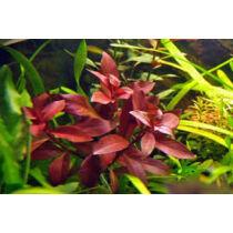 Ludwigia repens rubin akváriumi növény