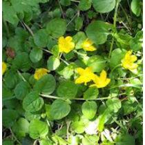 Lysimachia nummularia - pénzeslevelű lizinka kerti tavi növény
