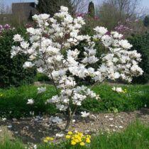 Magnolia 'Alba Superba' Nagyvirágú liliomfa