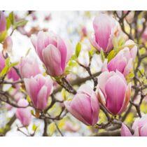 Magnolia 'George Henry Kern' rózsaszínvirágú liliomfa