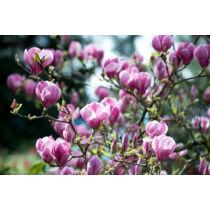 Magnolia 'Rustica Rubra'  Nagyvirágú liliomfa