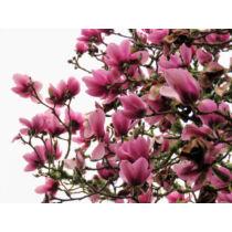 Magnolia 'Serene' Liliomfa