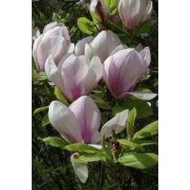 Magnolia 'Sundew' Nagyvirágú liliomfa