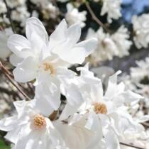 Magnolia stellata Fehér csillagvirágú liliomfa