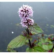 Mentha aquatica - vizi menta kerti tavi növény