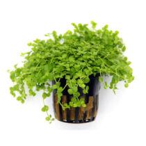 Micranthemum spec. Monte Carlo akváriumi növény