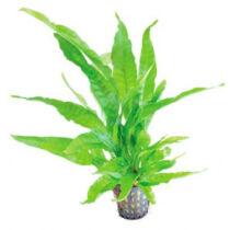 Microsorum preropus latifolia akváriumi növény