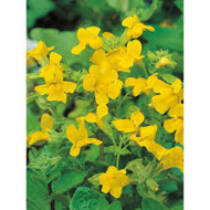 Mimulus luteus Sárga Bohócvirág kerti tavi növény