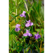 Mimulus ringens Lila bohócvirág kerti tavi növény