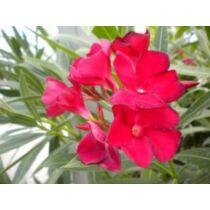 Nerium oleander Jannoch, élénk piros Leander 18cm-es cserépben
